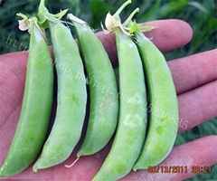 荷兰豆甜豌豆种子