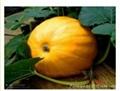 大南瓜种子 1