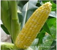 水果甜黄加白玉米种子 1