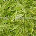 綠茶提取物 茶多酚