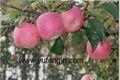 fuji apple 2