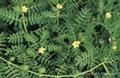 Tribulus terrestris p.e.; Tribulus