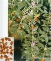 Boswellia Serrata P.E., Boswellia