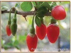 Wolfberry P.E. 1