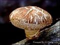 Shitake Mushroom P.E.