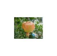 Pomegranate Extract plant extract