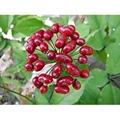 Organic Ginseng Seeds NOP/EEC