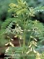 Astragalus Membranaceus Extract