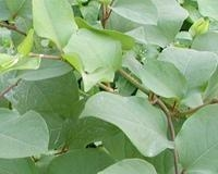 白藜蘆醇Trans-Resveratrol