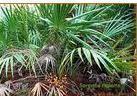 锯叶棕提取物Saw palmetto P.E.