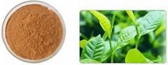 綠茶多酚  綠茶提取物
