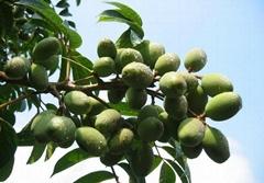 Olive Leaf Extract Oleuropein