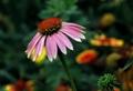Echinacea Purpurea Extract polyphenols