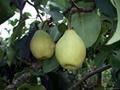Fresh Ya Pear 1