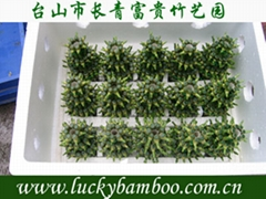 lucky bamboo---Tower