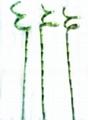 lucky bamboo---spiral
