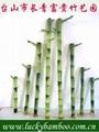 lucky bamboo---straight bamboo