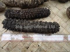 Solomon Islands sea cucumber