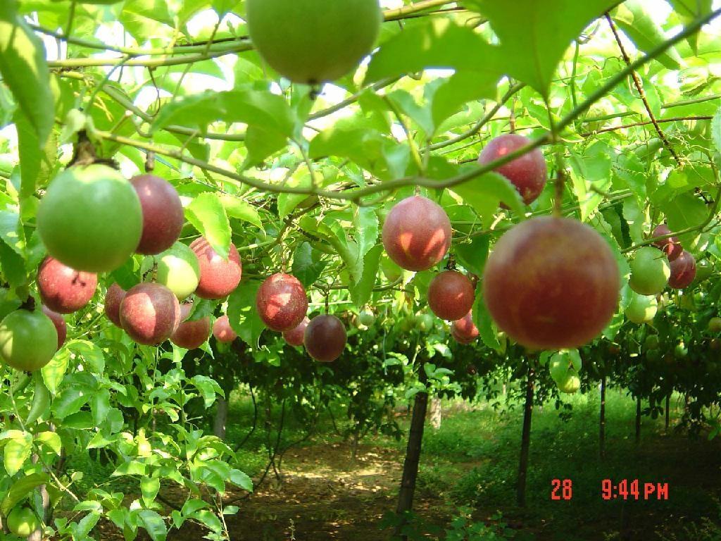 西番莲 - 10:1 (中国) - 植物提取物 - 农产品及物