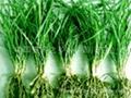 批发供应优质麦冬草