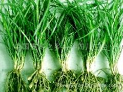 批發供應優質麥冬草