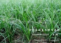 麦冬药材种苗