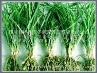 四川麦冬种苗