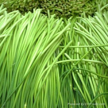 garlic sprout 3