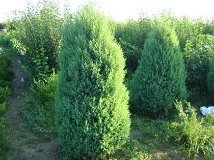 树皮灰褐色呈纵条剥离,有时呈扭转状.