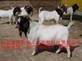 波尔山羊养殖场 1