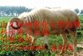 波尔山羊养殖场 2