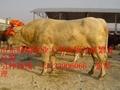 波尔山羊养殖场 5