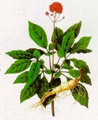 Ginseng P.E.