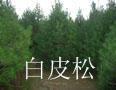 供應1-5米的白皮松,油松,側