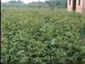 供應刺槐苗,國槐苗,花椒苗,紫
