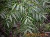 供應黃連木,鈣果苗,文冠果,板栗苗 1