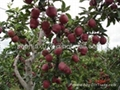 Fresh Huaniu Apple 2