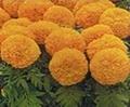 Lutein (Marigold Extract)
