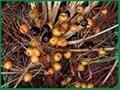 Saw Palmeto Berry Extract (Sex