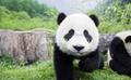 最炫民族风之迈开熊猫音箱 2