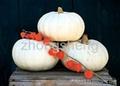 New Crop Snow White Pumpkin Seeds 4