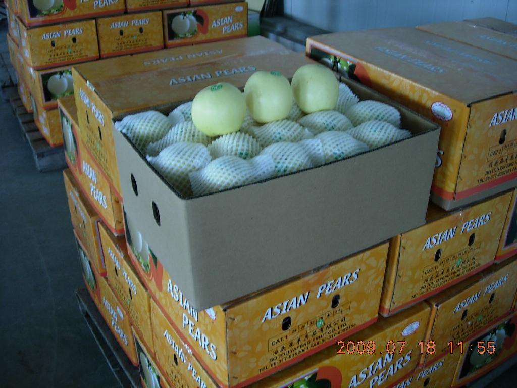 century pear 1