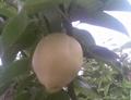 su pear 3