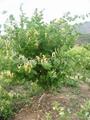 良种推荐:金丰一号(树型)金银花 2