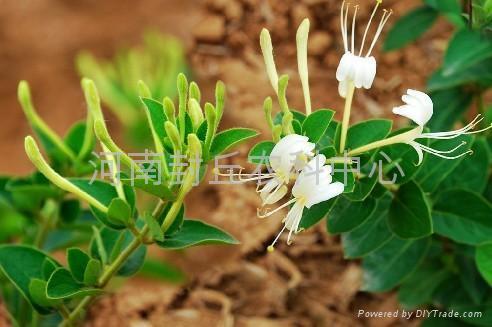 良种推荐:金丰一号(树型)金银花 4