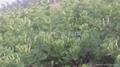 良种推荐:金丰一号(树型)金银花 5