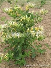 良种推荐:金丰一号(树型)金银花