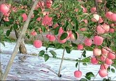 苹果反光膜