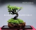 苔蘚盆景 1