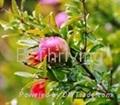 Pomegranate P. E.